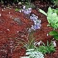 Allium beesianum, Mark McDonough