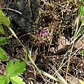 Allium bolanderi, in habitat, Nhu Nguyen