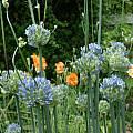 Allium caeruleum, Jim McKenney