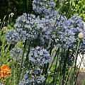 Allium caeruleum, Jim McKenney [Shift+click to enlarge, Click to go to wiki entry]
