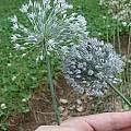 Allium caesium, Mark McDonough
