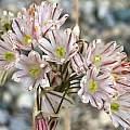 Allium callimischon ssp. callimischon, Rimmer de Vries