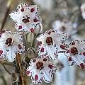 Allium callimischon ssp. haemostictum, Rimmer de Vries
