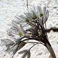 Allium callimischon ssp. callimischon, John Lonsdale [Shift+click to enlarge, Click to go to wiki entry]