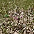 Allium campanulatum, Nhu Nguyen