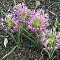 Allium campanulatum, Mark McDonough