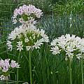Allium canadense forma florosum, Mark McDonough