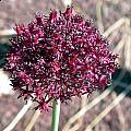 Allium cardiostemon, John Lonsdale [Shift+click to enlarge, Click to go to wiki entry]