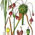 Allium carinatum with bulbils, Deutschlands Flora in Abbildungen (nur Tafeln)