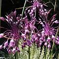 Allium carinatum ssp. pulchellum, Nhu Nguyen