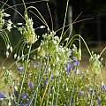 Allium carinatum ssp. pulchellum f. album, Travis Owen