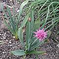 Allium carolinianum, Mark McDonough [Shift+click to enlarge, Click to go to wiki entry]