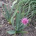 Allium carolinianum, Mark McDonough