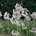 Allium cernuum 'Leo', Mark McDonough