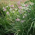 Allium cernuum hybrid offspring from 'Oxy White', Mark McDonough