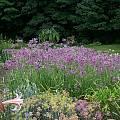 Allium cernuum, Mark McDonough