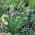 Allium cernuum 'Oxy White', Mark McDonough