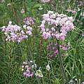 Allium cernuum hybrid, Mark McDonough [Shift+click to enlarge, Click to go to wiki entry]