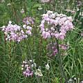Allium cernuum hybrid, Mark McDonough [Shift+click to enlarge, Click to go to wiki entry]