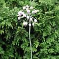 Allium cernuum x rubens, Mark McDonough [Shift+click to enlarge, Click to go to wiki entry]