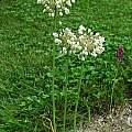 Allium convallarioides, Mark McDonough [Shift+click to enlarge, Click to go to wiki entry]