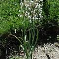 Allium convallarioides, Mark McDonough