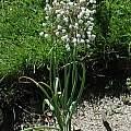 Allium convallarioides, Mark McDonough