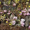 Allium cratericola, in situ, Nhu Nguyen