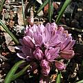 Allium cratericola, Tilden Botanic Garden, Nhu Nguyen [Shift+click to enlarge, Click to go to wiki entry]