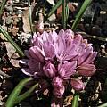 Allium cratericola, Tilden Botanic Garden, Nhu Nguyen