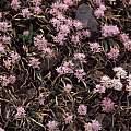Allium crenulatum, Kathleen Sayce