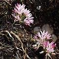 Allium crenulatum, Kathleen Sayce [Shift+click to enlarge, Click to go to wiki entry]