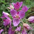 Allium crispum, Nhu Nguyen
