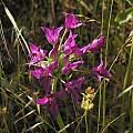 Allium crispum, Jolon Road, Mary Sue Ittner