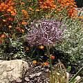 Allium cristophii, Nhu Nguyen