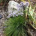Allium cyaneum, Rimmer de Vries