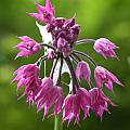 Allium cyathophorum var. farreri, John Lonsdale [Shift+click to enlarge, Click to go to wiki entry]