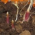 Allium cyathophorum var. farreri shoots 26th January 2014, David Pilling
