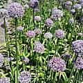Allium decipens, Wietse Mellema