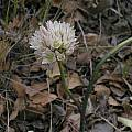 Allium diabolense, Mary Sue Ittner