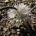 Allium diabolense, Nhu Nguyen [Shift+click to enlarge, Click to go to wiki entry]