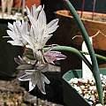 Allium diabolense, Nhu Nguyen