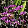 Allium dichlamydeum, Nhu Nguyen