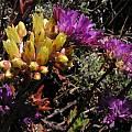 Allium dichlamydeum with Dudleya farinosa, Bob Rutemoeller