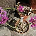 Allium dichlamydeum, RH