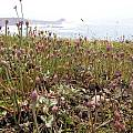 Allium dichlamydeum in bud, Bob Rutemoeller
