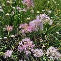 Allium douglasii, Richard Haard