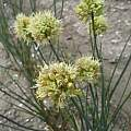 Allium ericetorum, Wietse Mellema [Shift+click to enlarge, Click to go to wiki entry]