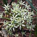 Allium eulae, John Lonsdale [Shift+click to enlarge, Click to go to wiki entry]