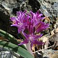 Allium falcifolium, Nhu Nguyen